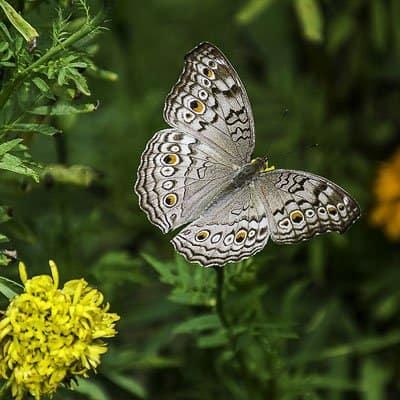 Butterflies in Gainesville Florida