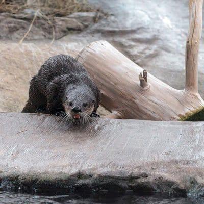 Sarasota river otters